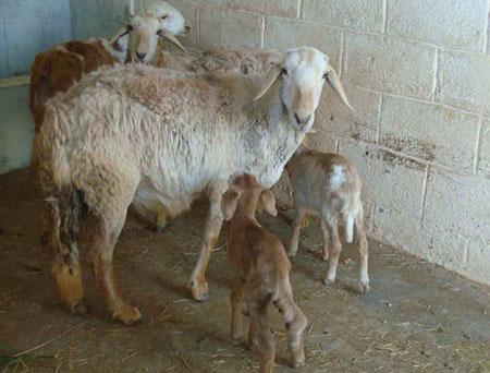 ဆိတ်ပုလိပ်ရောဂါ ( Goat Plague)