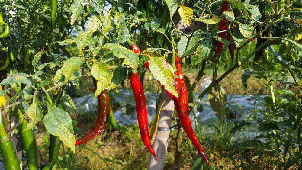 ငရုတ်ပင်တွင် ကျရောက်သော ဖျက်ပိုးများ