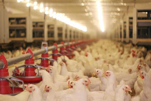 အသားတိုးကြက်မွေးမြူရေးခြံများအတွက် ကောင်းမွန်သောမွေးမြူရေးကျင့်စဉ် (GAHP)(အပိုင်း - ၃)