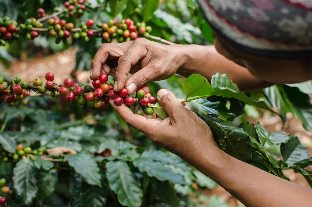 မြန်မာ့ကော်ဖီ ကမ္ဘာ့အဆင့်မီ စျေးကွက်တိုးချဲ့ရေး