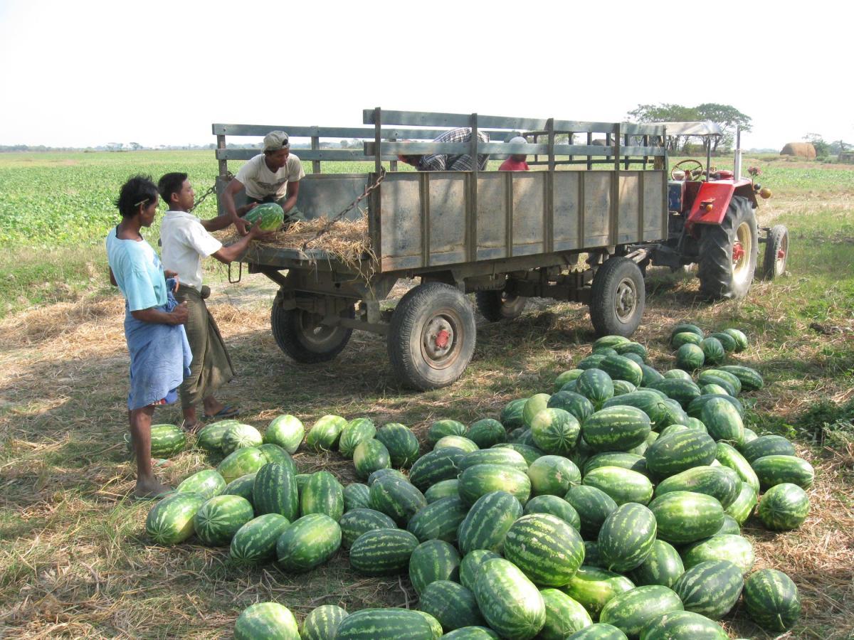 ဖရဲ၊ သခွားမွှေး တောင်သူတွေ  ဈေးကောင်းရဖို့  စိုက်ပျိုးထုတ်လုပ်ရေးဇုန်  စီစဉ်နေ