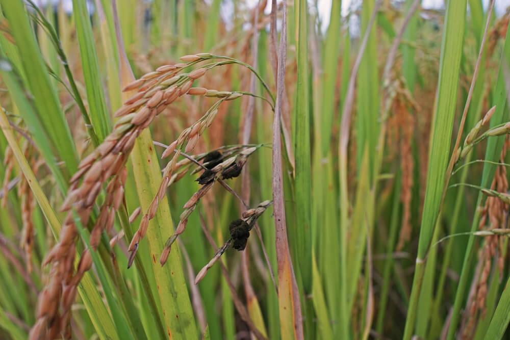 မျိုးစေ့အညှောင့်ပေါက်မှု ကျဆင်းစေနိုင်တဲ့ စပါးမှိုသီးရောဂါ