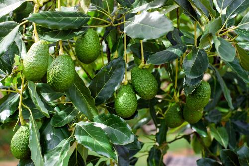 မြန်မာ့ထောပတ်သီးကို ပြည်ပစျေးကွက်များသို့ တင်ပို့နိုင်ရန် စီစဉ်ဆောင်ရွက်နေ
