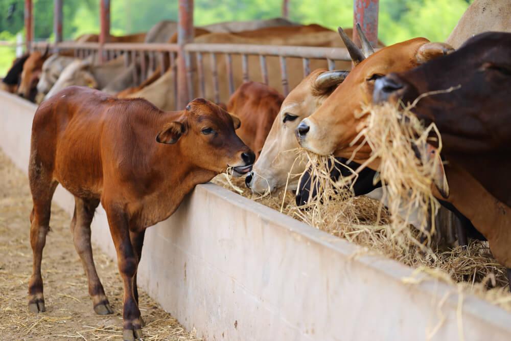 ယူရီယားဖြင့်ပြုပြင်ကျွေးမွေးပါက အသားဓာတ်ပါဝင်မှုများလာပါတယ်