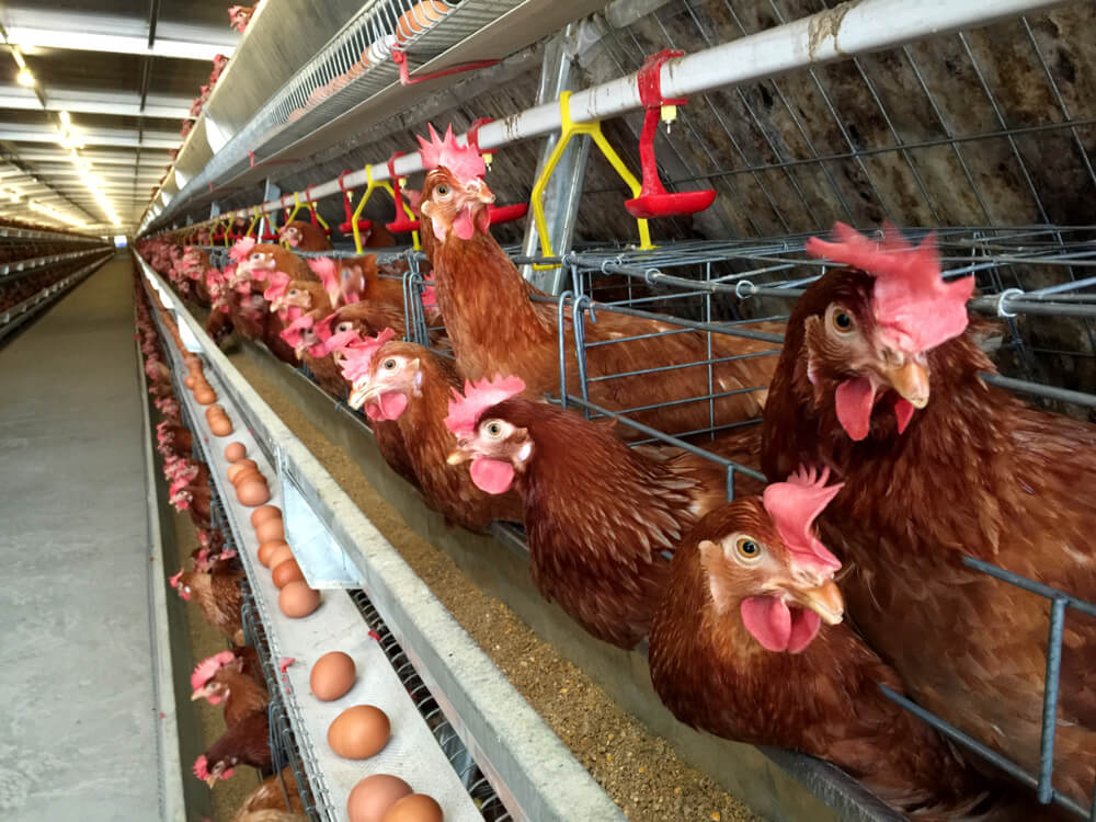 ဥစားကြက်မွေးမြူရေးခြံများအတွက် ကောင်းမွန်သော မွေးမြူရေးကျင့်စဉ်