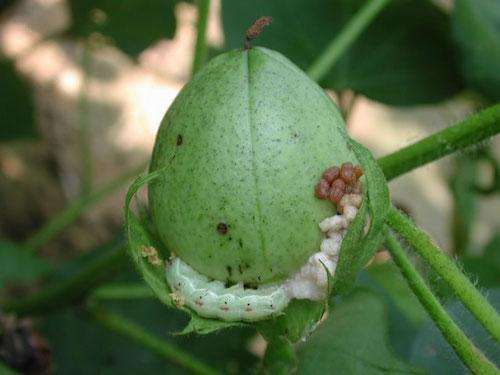 နှမ်း၊ မြေပဲ၊ ဝါသီးနှံများတွင် ကျရောက်တတ်သော ရောဂါပိုးမွှားများနှင့် ကာကွယ်နှိမ်နင်းနေမှုများ