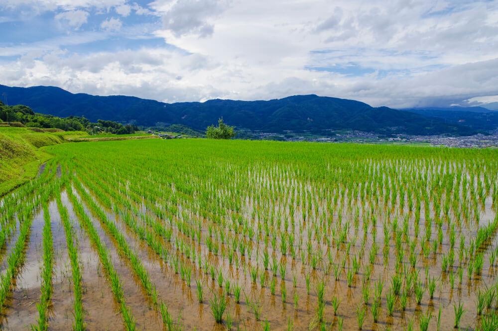 ကောက်ကွက်မှန်စိုက်ပျိုးရေး