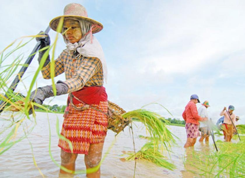 ပဲခူးတိုင်း ရေနက်ကွင်းဒေသများတွင် အသုံးပြုလျက်ရှိသော စပါးအဆစ်ဖြတ်စိုက်နည်းစနစ်အကြောင်း