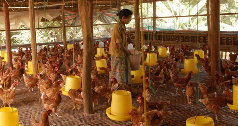 ကြက်မွေးမြူရေး လုပ်သားများအား ကျွမ်းကျင်မှုအဆင့် -၂ လက်မှတ် ထုတ်ပေးနိုင်ရေး စီစဉ်ဆောင်ရွက်နေ