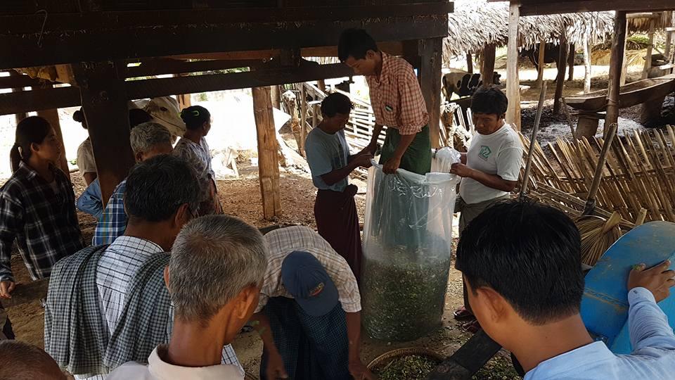 ချဉ်ဖတ်ပြုရန်အတွက် အစာစိမ်းလုံလောက်မှုနှင့် ပိုလျှံမှုများကို တွက်ချက်ခြင်း (Feed Budgeting for Silage making)