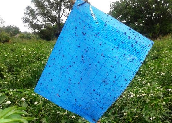 အပြာရောင်ကဒ်ပြား ကော်သုတ်ထားသော ပိုးထောင်ချောက်