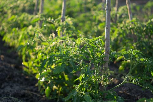 ဖရုံ၊ ခရမ်းချဉ် သီးနှံတွေရဲ့ မျိုးနှင့်စျေးကွက်အနေအထား