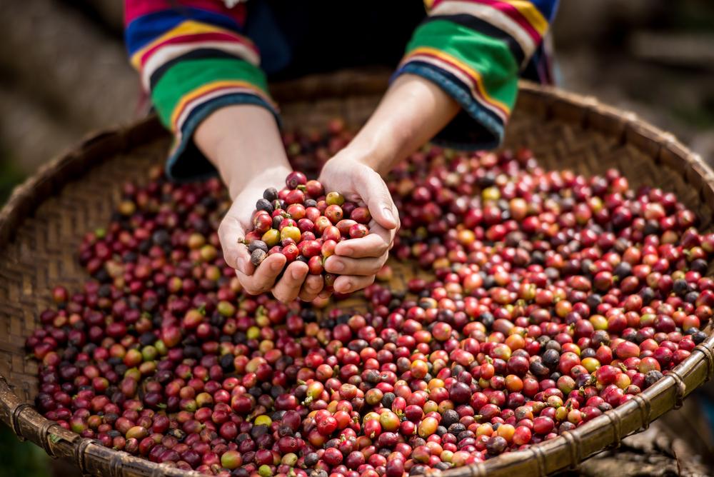ချင်းပြည်နယ်တွင် ကော်ဖီပင်ဧက(၅၀)စိုက်ပျိုးနိုင်ရန် စီစဉ်လုပ်ဆောင်နေ