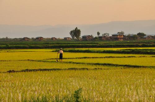 ယူနန်ပြည်နယ်အစိုးရက မြန်မာ့စပါးများကို တရားဝင် ဝယ်ယူရန် ကမ်းလှမ်းထား
