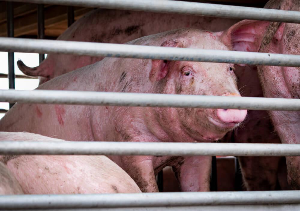 ကြိုတင်သတိပြုစရာ အာဖရိကအပြင်းဖျားဝက်ရောဂါ (African Swine Fever)