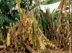 ငှက်ပျောစိုက်တောင်သူများသတိထားစရာ ငှက်ပျောဖျူစေရီယံပင်ညှိုးရောဂါ