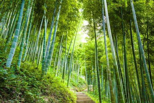 ဝါးပင်ကြီးထွားမှုကို အကျိုးပြုသော သဘာဝပတ်ဝန်းကျင်အခြေအနေများ