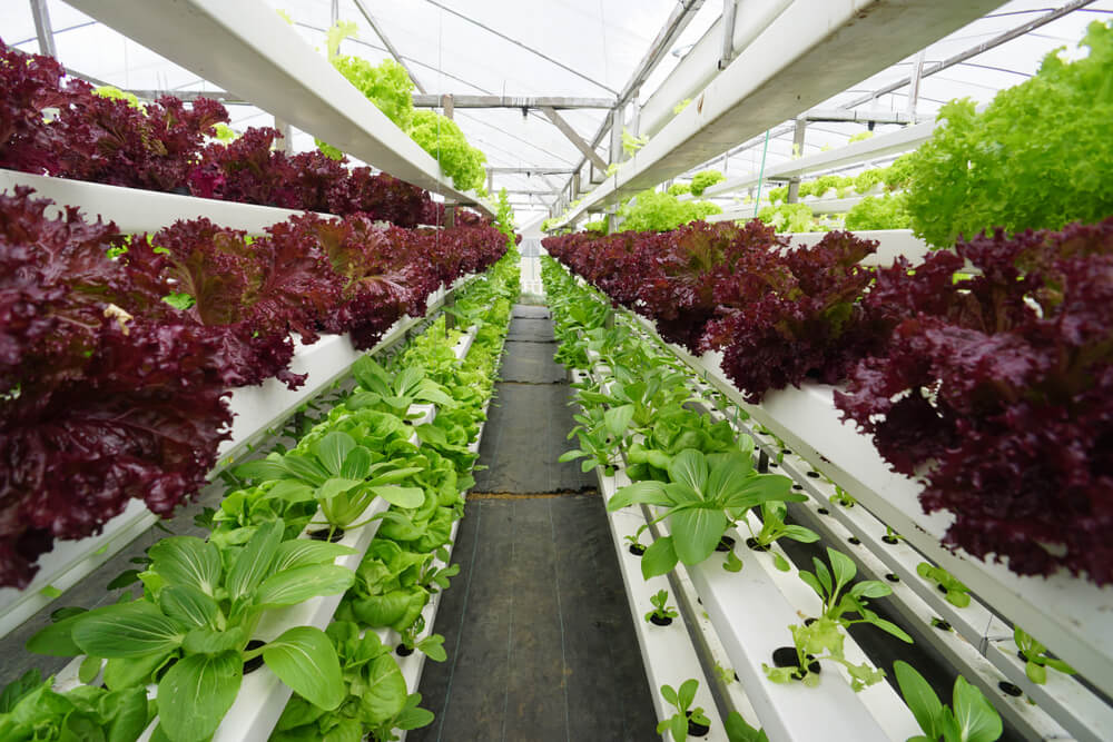 အဖြူရောင်၊ အပြာရောင်နှင့် အစိမ်းရောင်စိုက်ပျိုးရေး