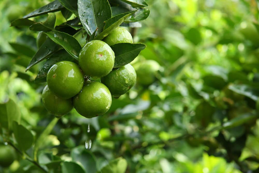 သံပုရာပင် စိုက်ပျိုးနည်း