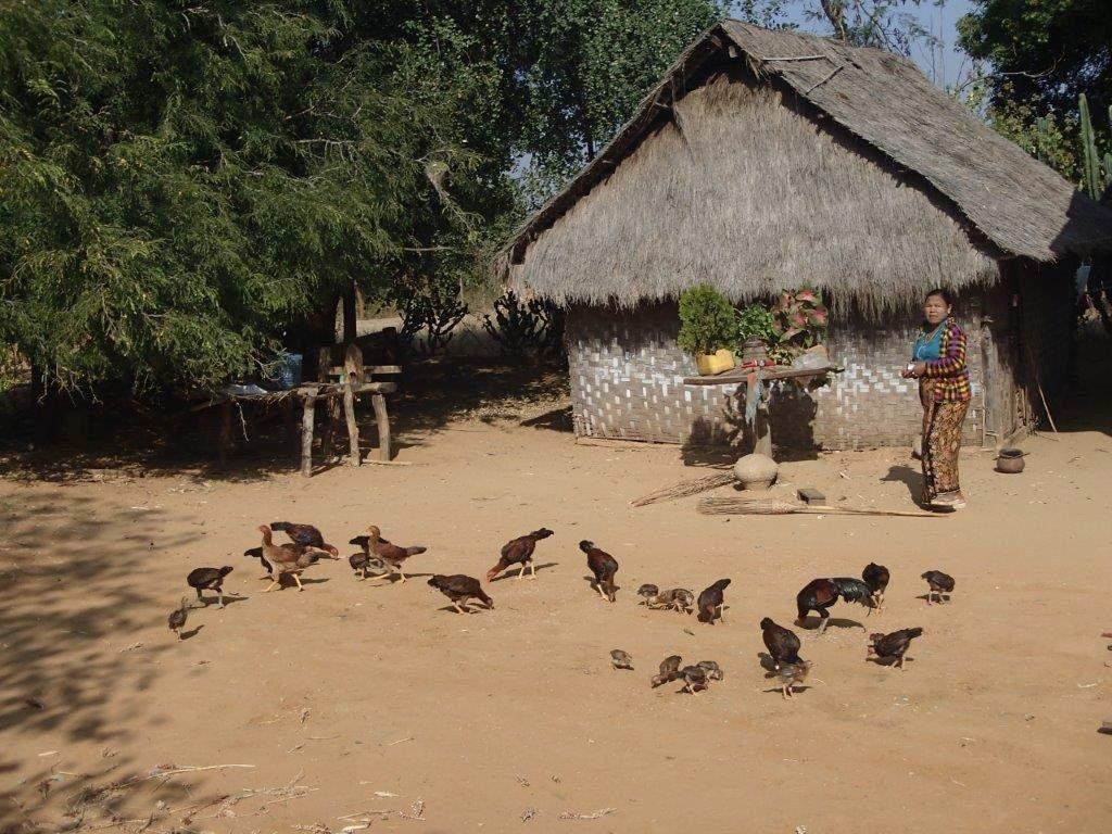 တိုင်းရင်းကြက်မွေးမြူရေး ပိုမိုတိုးတက်အောင်မြင်စေရန် မွေးမြူနည်းစနစ်များ