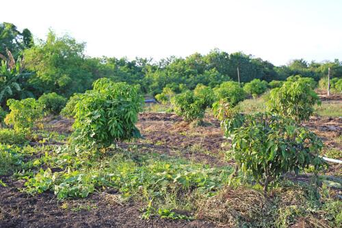 မကွေး၌ နှစ်ရှည်ပင်စိုက်ပျိုးလိုသူများအား နှစ် ၃၀ ဂရန်ထုတ်ပေး