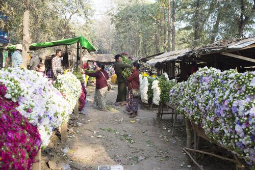 အညာဒေသတွင် ဂန္ဓမာပန်းပျိုးထောင်စိုက်ပျိုးခြင်းထက် ကိုင်းဖြင့်စိုက်ပျိုးခြင်းက တွက်ခြေကိုက်