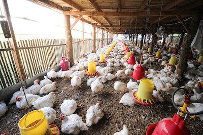 အသားတိုးကြက်မွေးမြူရေးခြံများအတွက် ကောင်းမွန်သောမွေးမြူရေးကျင့်စဉ် (GAHP) - အပိုင်း (၁)