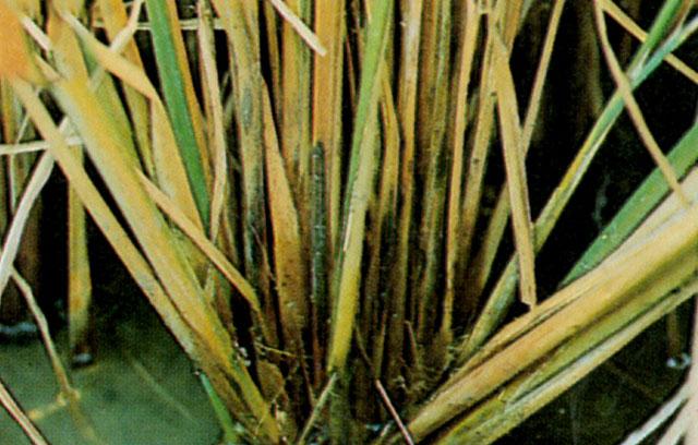 စပါးပင်စည်ပုပ်ရောဂါ