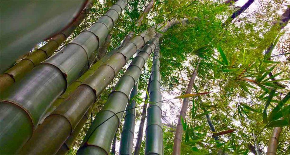 ဝါးပင်များကို သဘာဝမြေသြဇာကျွေးခြင်း