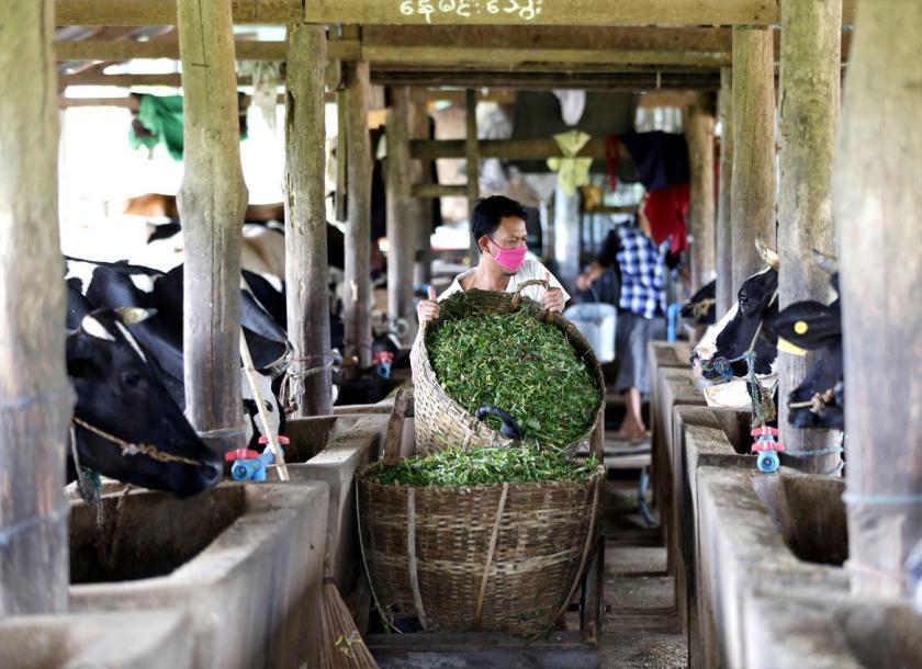 တရုတ်ကုမ္ပဏီ မြန်မာနိုင်ငံတွင် နွားမွေးမြူရေးလုပ်မည်