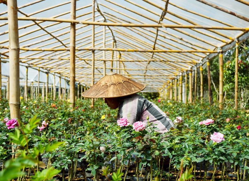 နှင်းဆီစိုက်ပျိုးပြုစုနည်း