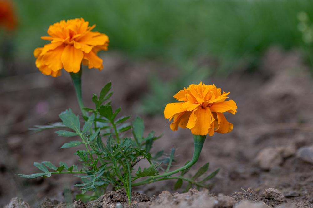 စိုက်ပျိုးရလွယ်ကူ အကျိုးထူးတဲ့ ချစ်တီးပန်း